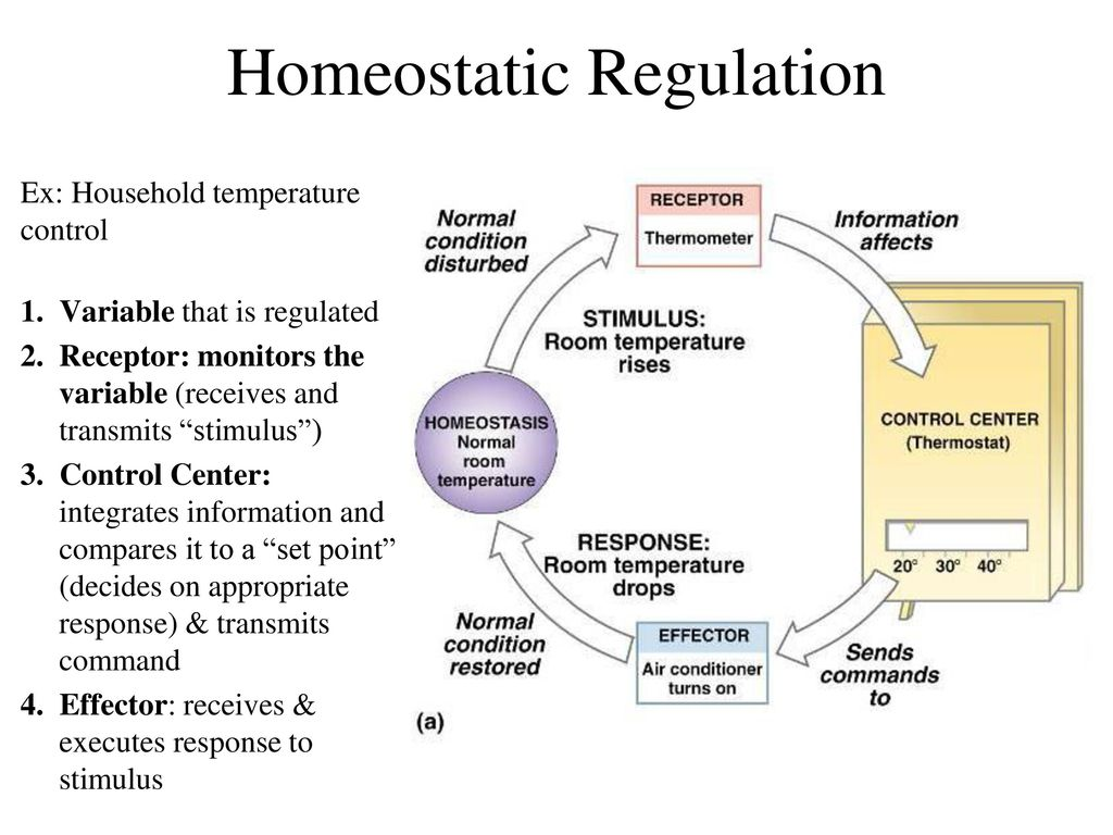 Excepcional What Is Homeostasis In Anatomy And Physiology Cresta ...