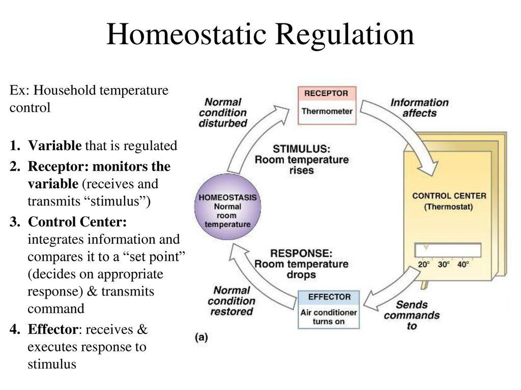Bonito Homeostasis Anatomy And Physiology Componente - Anatomía de ...