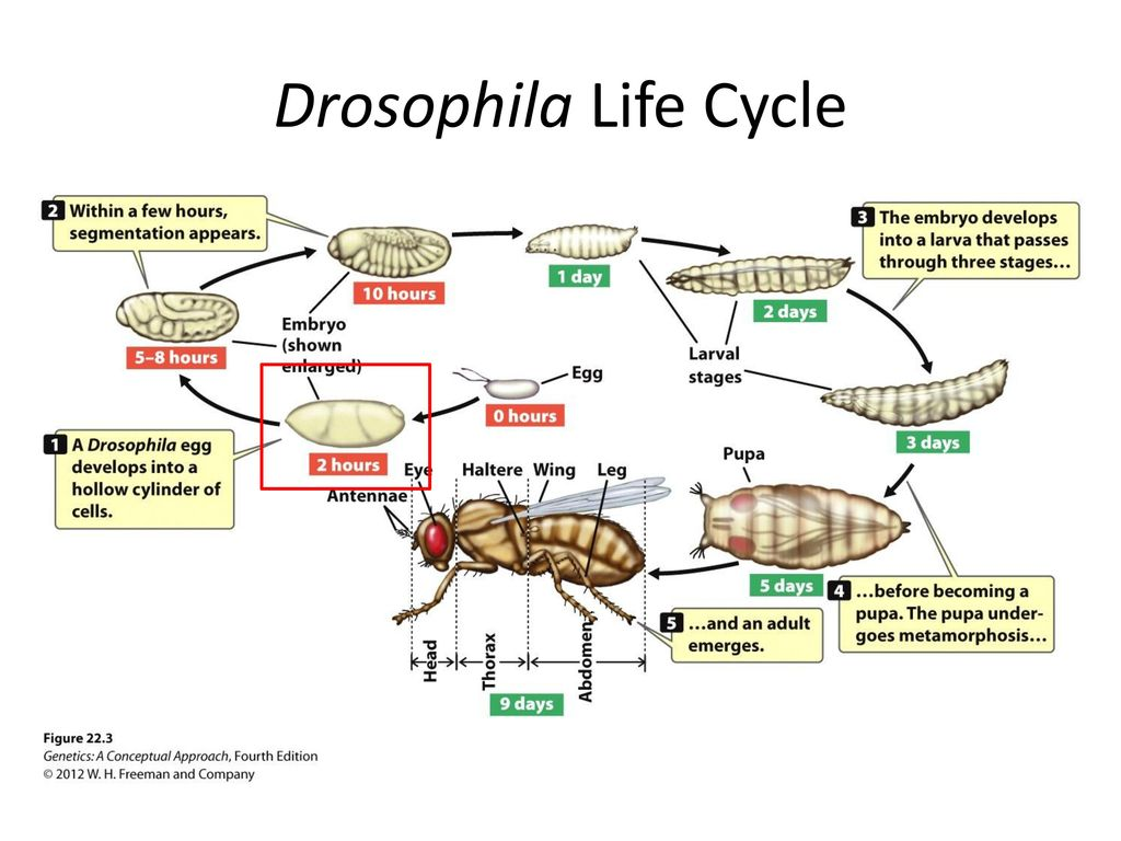 gene expression patterns in drosophila embryos using lacz ... diagram of the carbon cycle #13