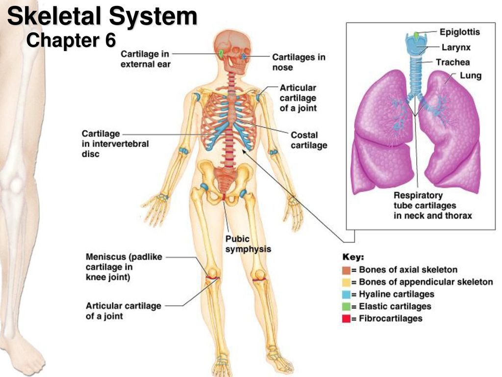 Charmant Anatomy And Physiology Chapter 6 Practice Test Fotos ...