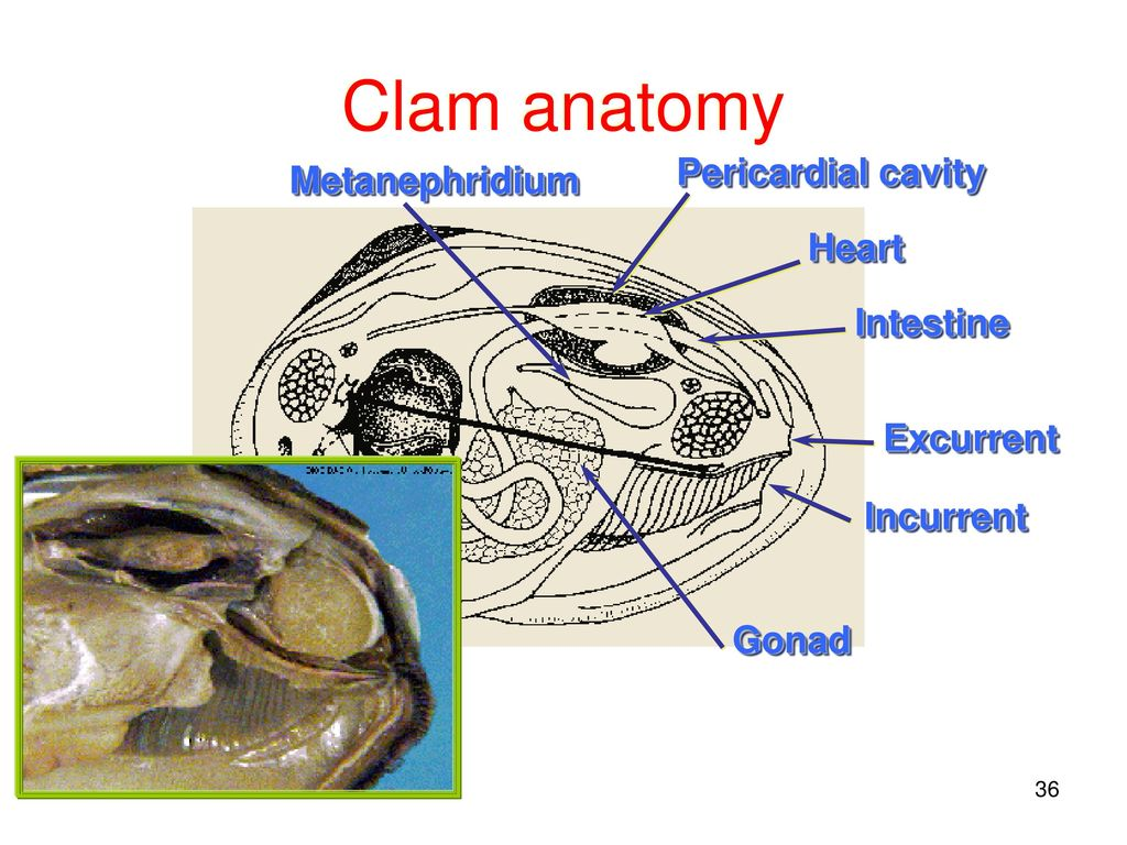 Anatomy of a razor clam 2370124 - follow4more.info