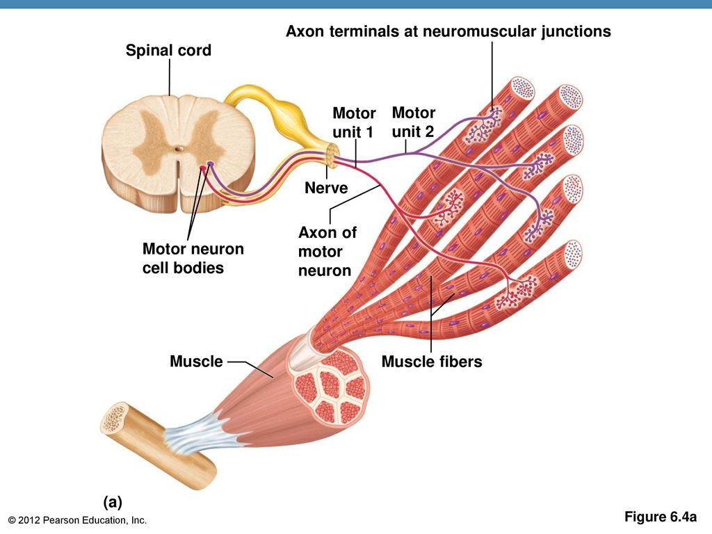 Muscular System Contraction Of Motor Units - impremedia.net
