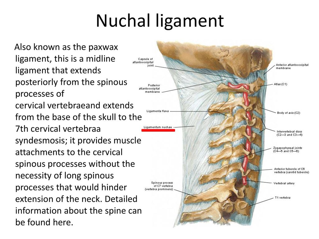 Joints and ligaments of the Thorax and the Back - ppt ...
