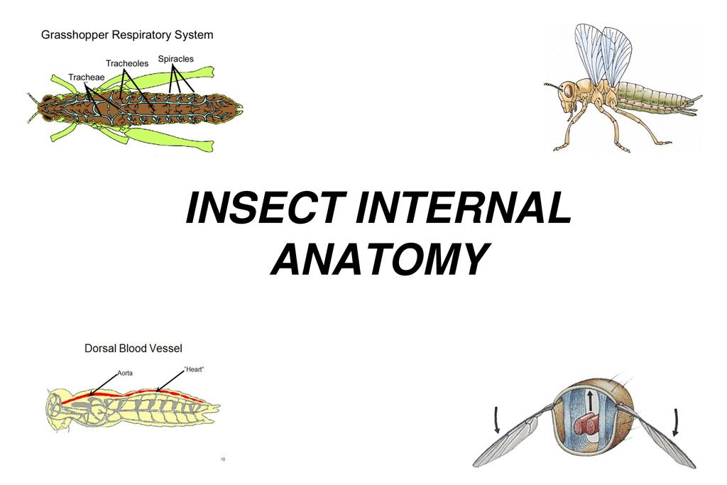 INSECT INTERNAL ANATOMY - ppt video online download
