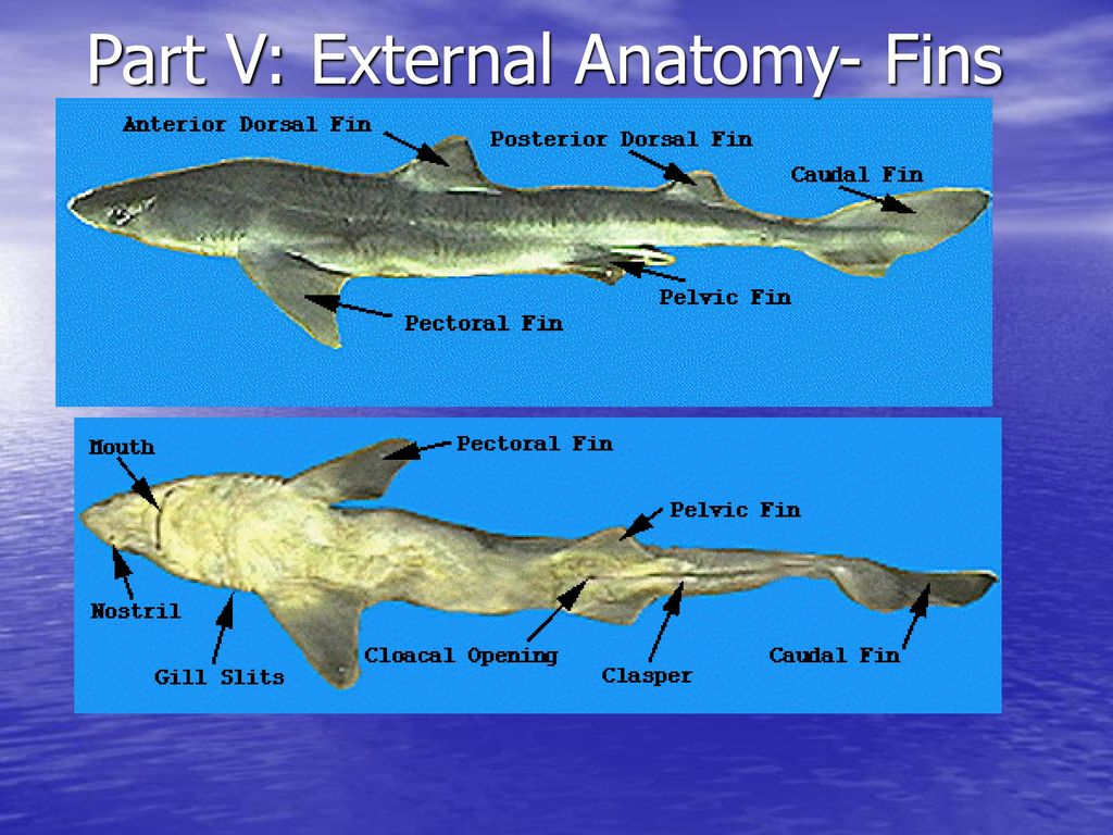 External Anatomy Of Dogfish Shark
