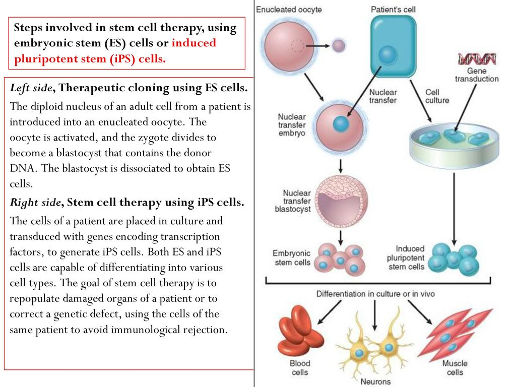 therapeutic cloning to obtain embryonic stem Therapeutic cloning refers to the removal of a nucleus, which contains the   considered that it took 304 eggs to produce two successful embryonic stem cell.