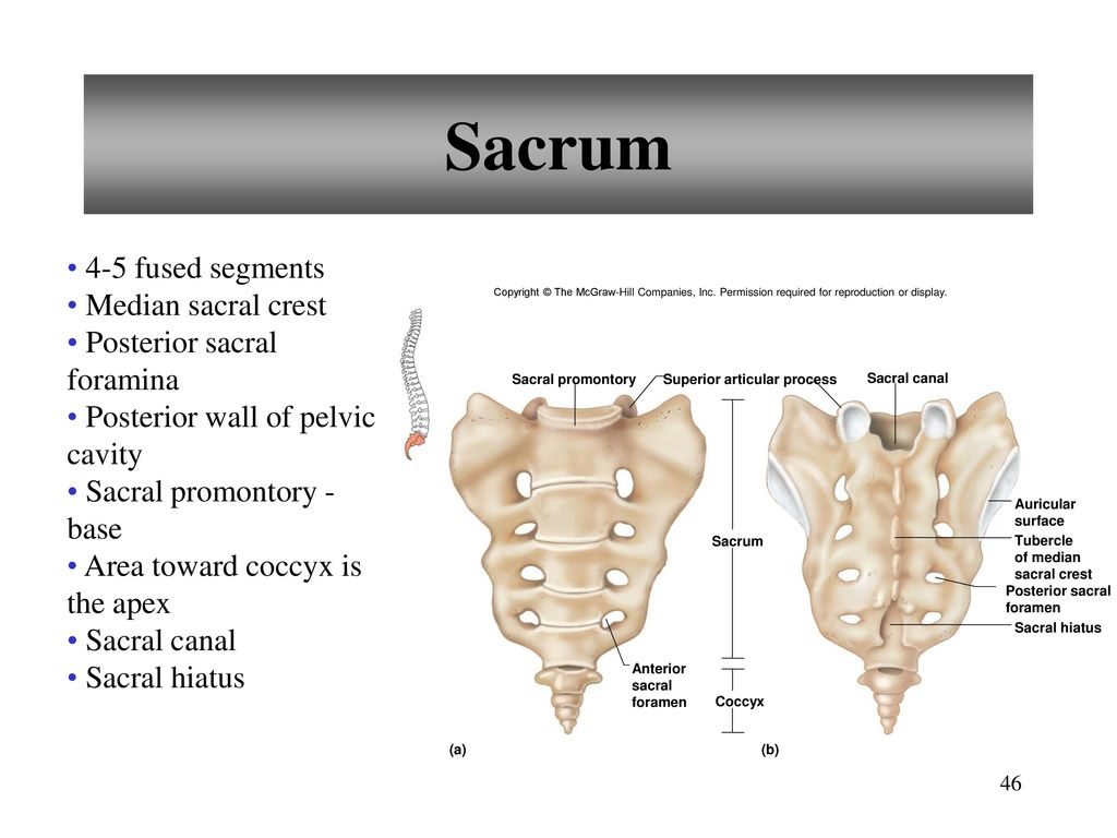 Erfreut Wo Ist Sacrum Zeitgenössisch - Anatomie Und Physiologie ...