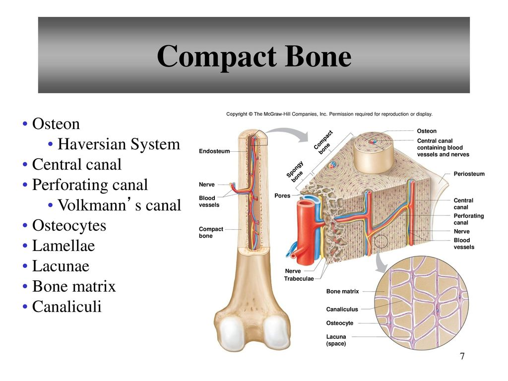 Compact bone slide central canal