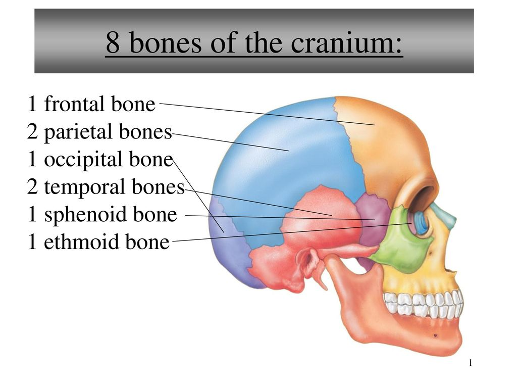 8 Bones Of The Cranium 1 Frontal Bone 2 Parietal Bones Ppt Video