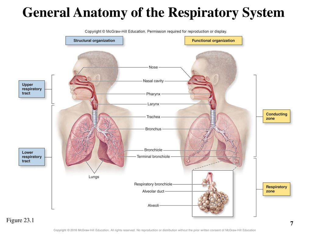Erfreut Applied Anatomy And Physiology Of Respiratory System Ppt ...