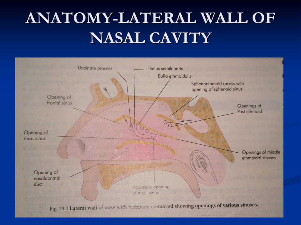 Anatomy of lateral wall of nose 6914560 - follow4more.info