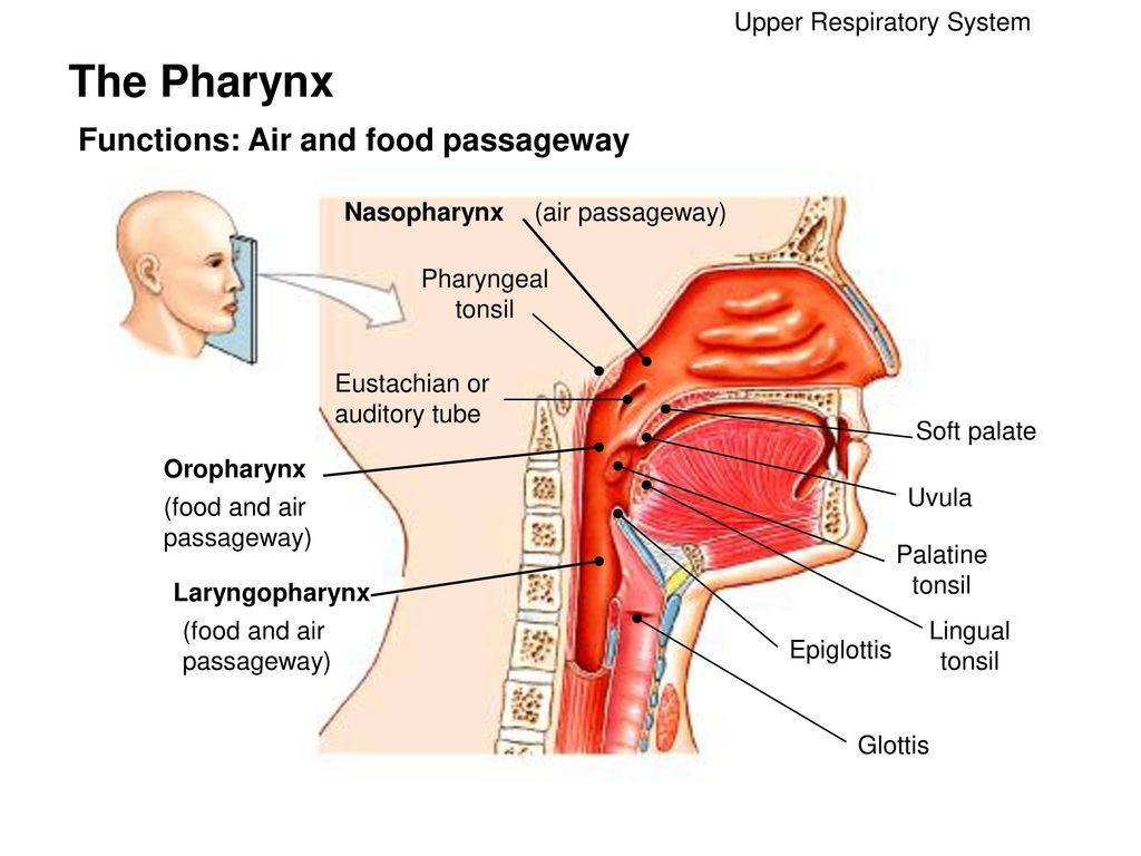 The respiratory system ppt video online download the pharynx functions air and food passageway pooptronica