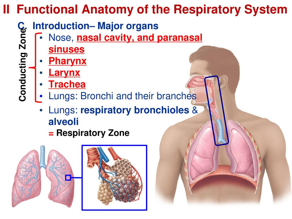 Luxury Functional Anatomy Of The Respiratory System Festooning ...