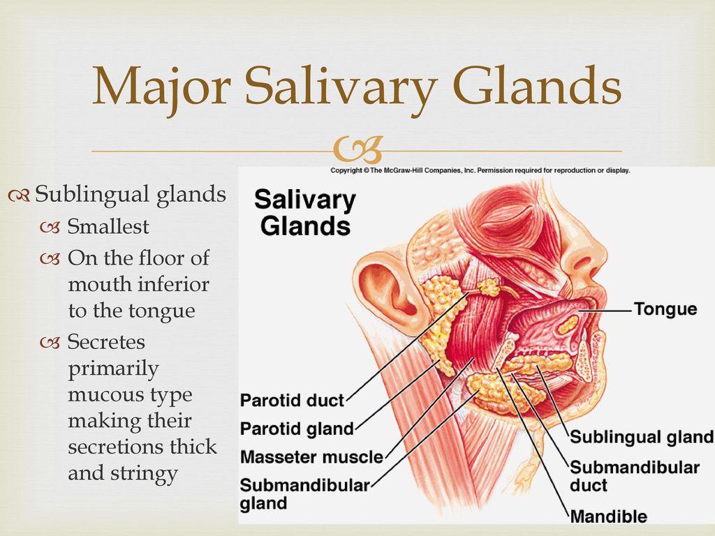 answer brain and salivary gland secretion