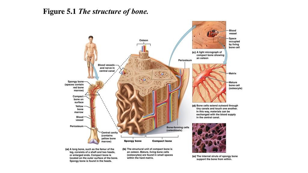 Chapter 5 Skeletal System. - ppt download