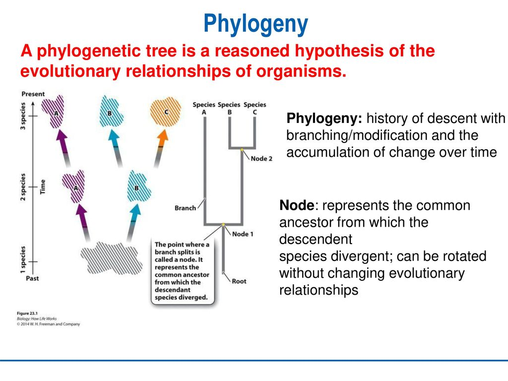 20 phylogeny ppt download 2 phylogeny ccuart Image collections