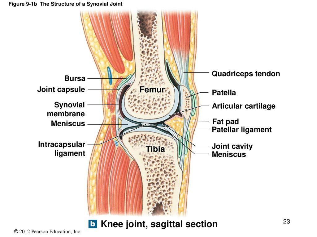 Knee synovium anatomy 2823568 - follow4more.info