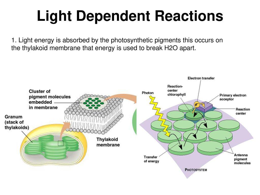 Light dependent reaction flow chart