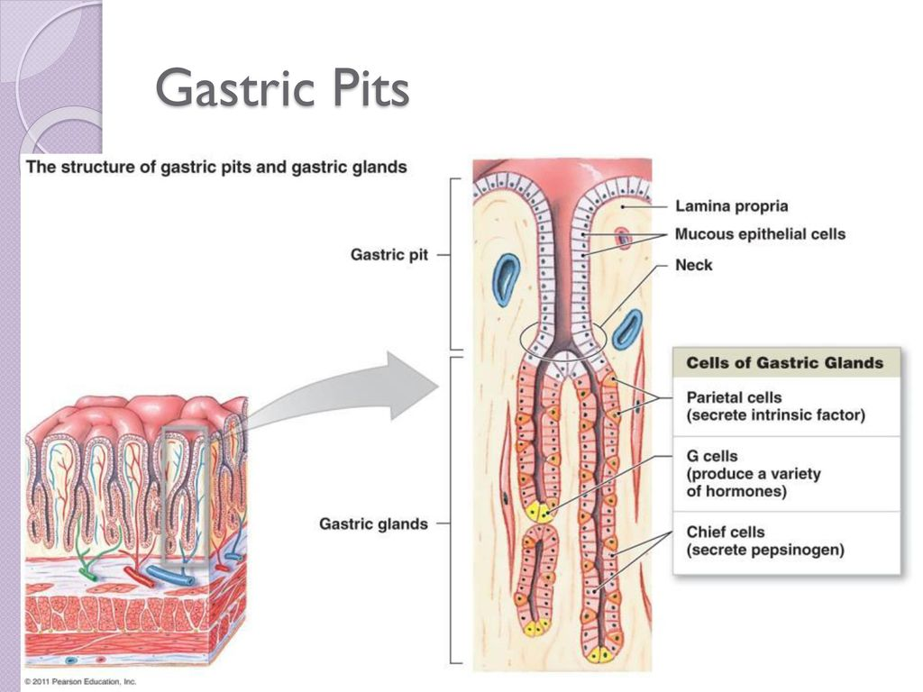 Digestion absorption ppt video online download 8 gastric pits stomach lining contains pits which contain specialized cells ccuart Image collections