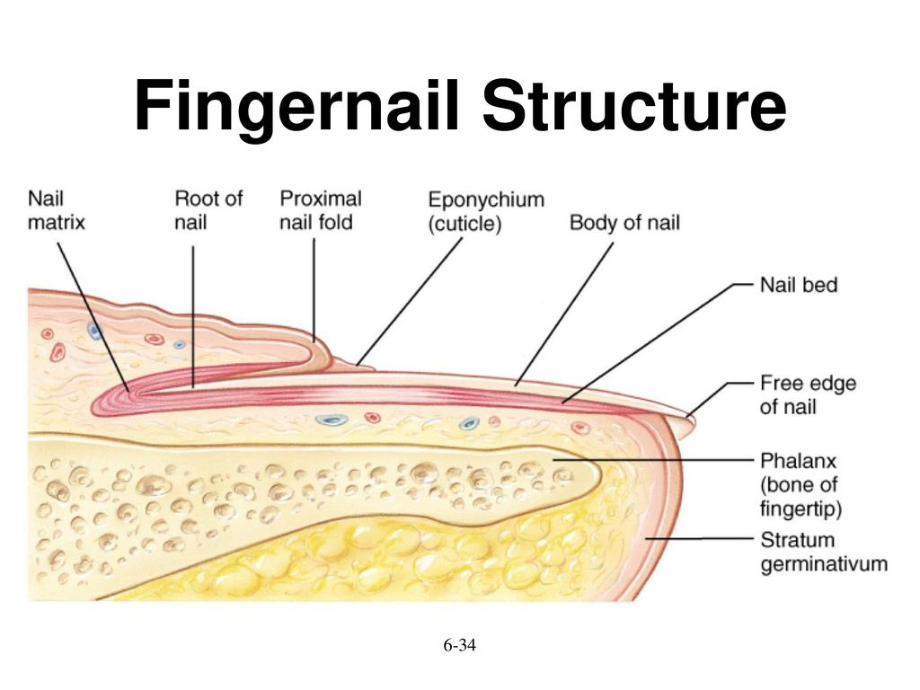 Integumenatry system ch ppt download 34 fingernail structure pooptronica Gallery