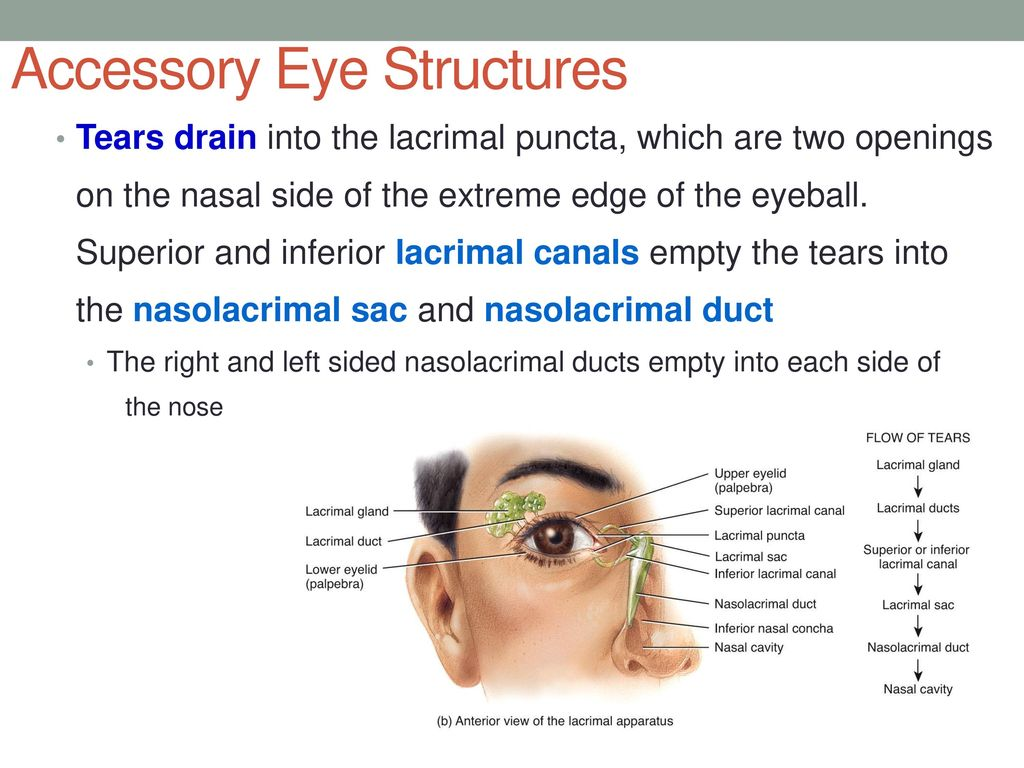 Contemporary Tear Duct Anatomy Composition - Physiology Of Human ...