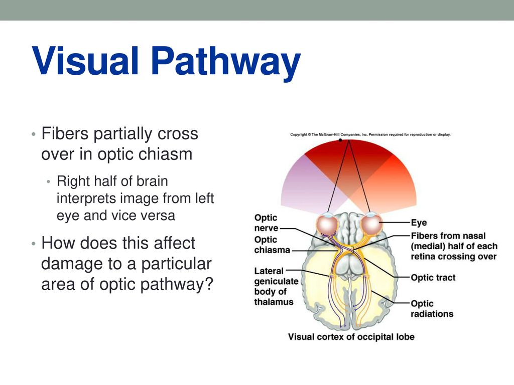 Funky Anatomy Of The Visual Pathway Image - Physiology Of Human Body ...