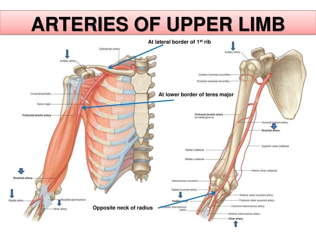 Vascular anatomy of upper limb