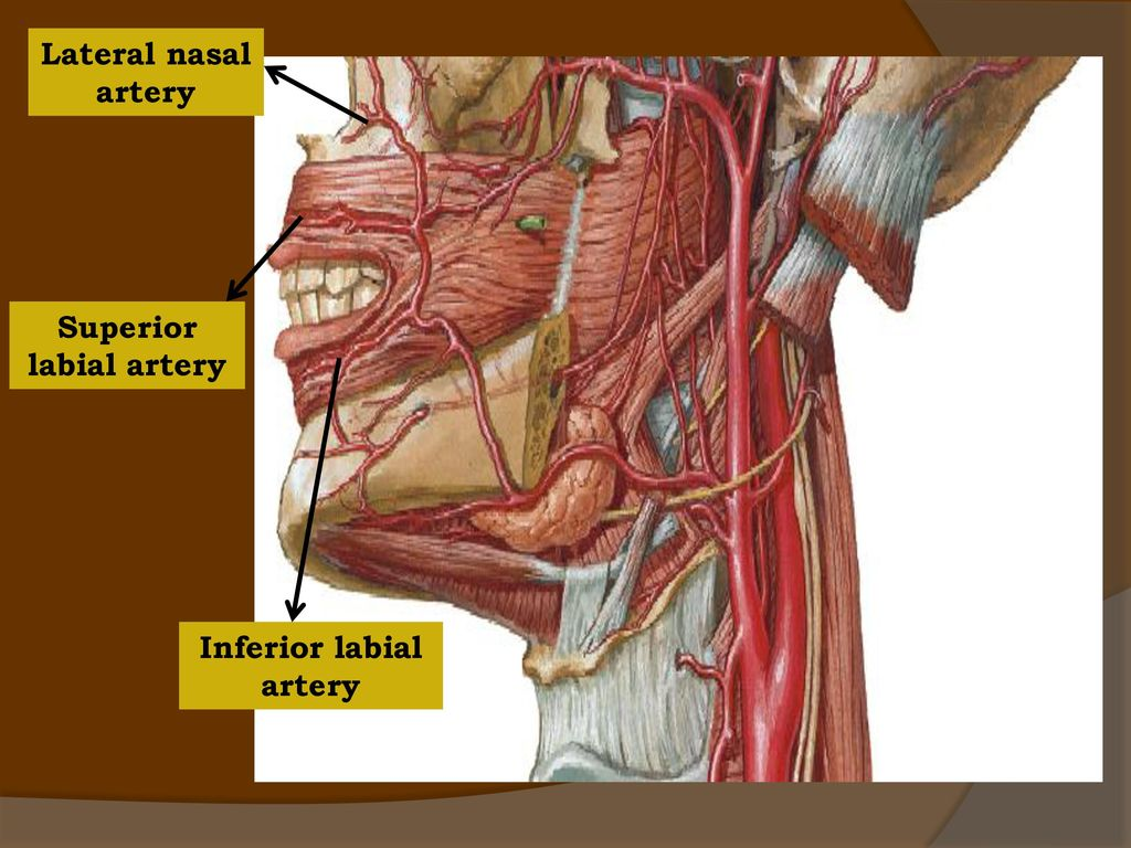 BLOOD AND NERVE SUPPLY TO HEAD & NECK - ppt video online ...  BLOOD AND NERVE...