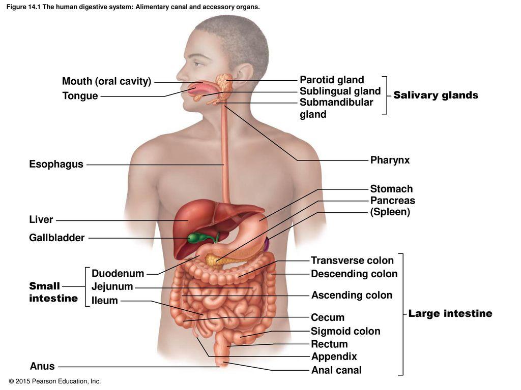 Parotid gland anatomy 347818 - follow4more.info