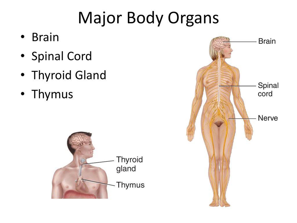 Fantastisch Definieren Thymus Fotos - Menschliche Anatomie Bilder ...