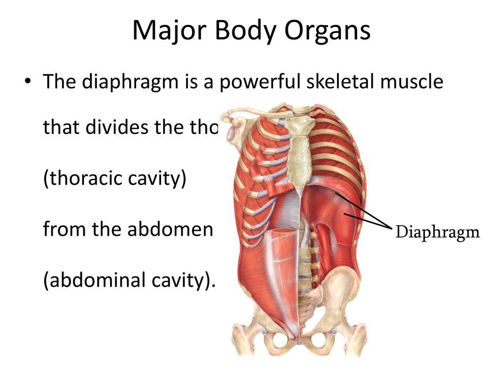 Anatomy thoracic cavity 3671602 - togelmaya.info