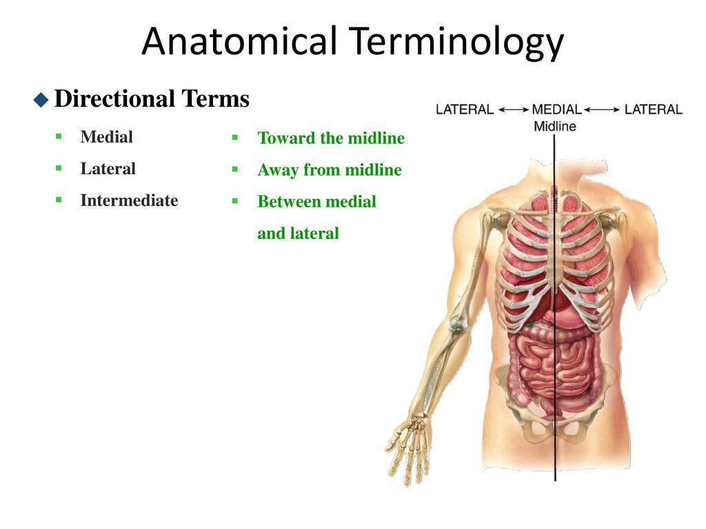 Contemporary Intermediate Definition Anatomy Frieze - Anatomy Ideas ...