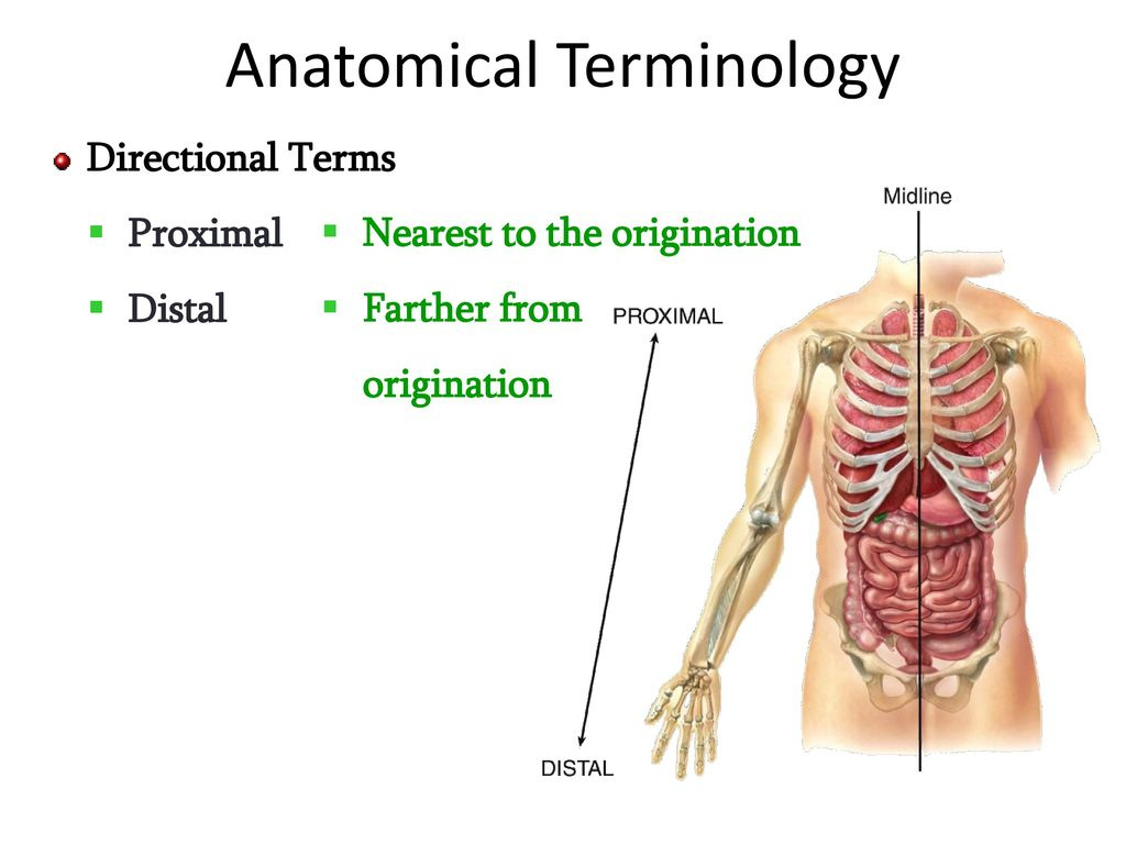 Exelent Proximal Definition Anatomy Image Physiology Of Human Body