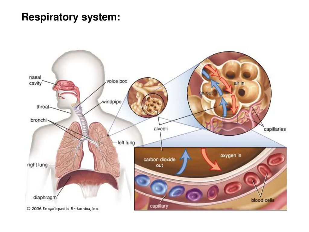 Respiratory system: anatomy & physiology; diagnostic technologies ...