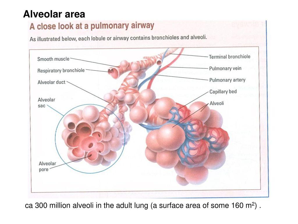 Ziemlich Anatomy And Physiology Of Human Lungs Bilder - Physiologie ...