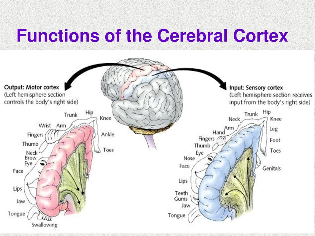 the many functions of the brain essay Check out this video lesson to learn about the four lobes of the human brain - the frontal, parietal, occipital and temporal you'll learn about.