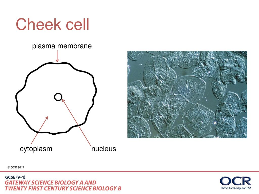 Different types of microscopes ppt download 5 cheek cell plasma membrane cytoplasm nucleus pooptronica Choice Image