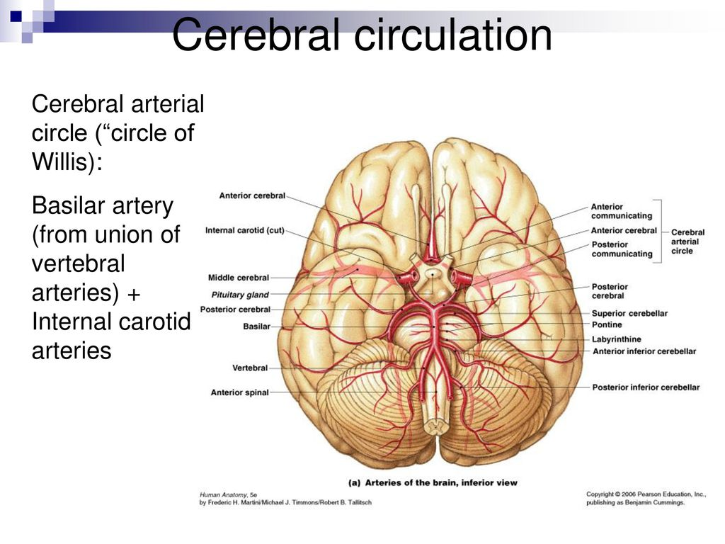 Cerebral Vasculature Anatomy Images - human body anatomy