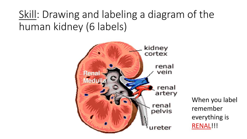 113 the kidney and osmoregulation ppt download skill drawing and labeling a diagram of the human kidney 6 labels ccuart Gallery