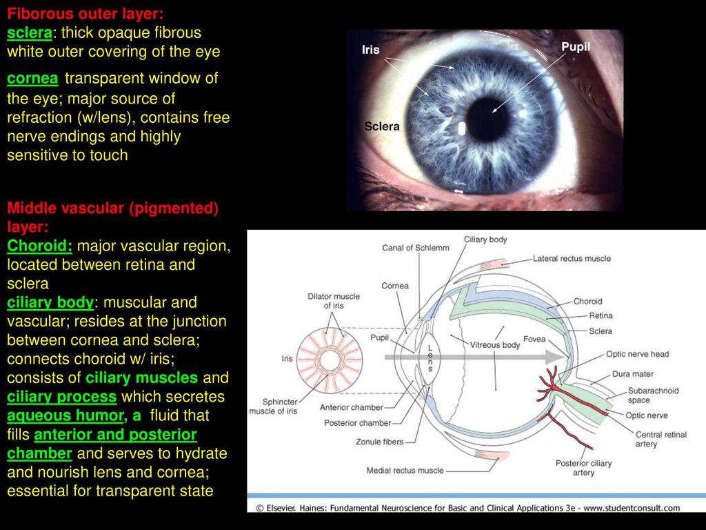 Anatomy Of The Eye Ppt Image collections - human body anatomy