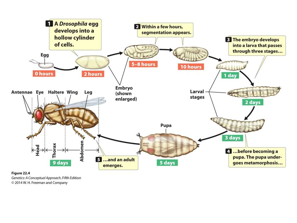 Perfect Anatomy Of Drosophila Melanogaster Ornament Physiology Of