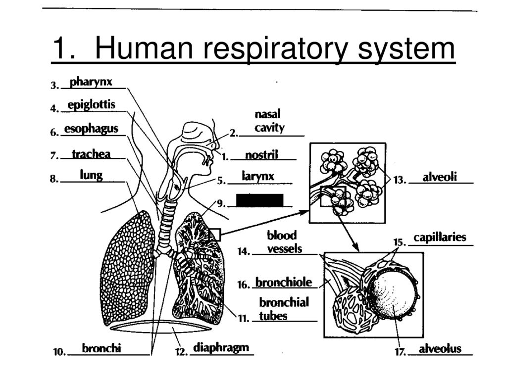 Next review session 15 date june 1st period 1 aim 84 what are human respiratory system ccuart Images