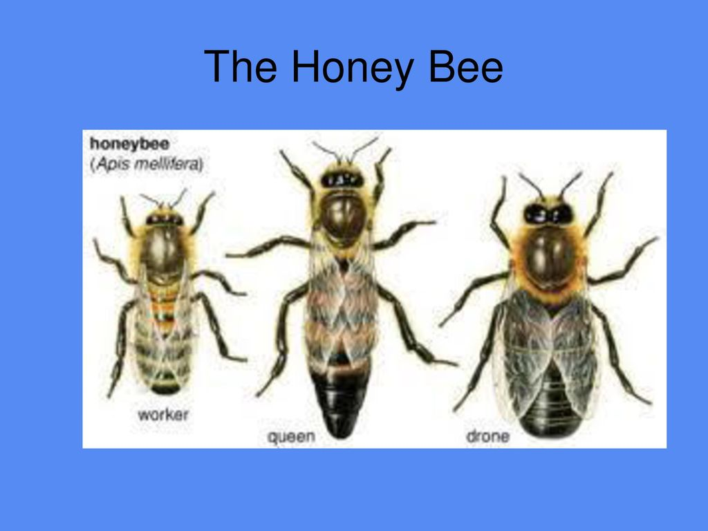 Honey Bee Anatomy And Physiology Ppt Download