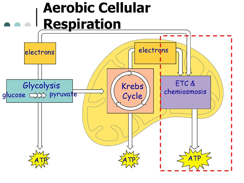aerobic and anaerobic respiration venn diagram