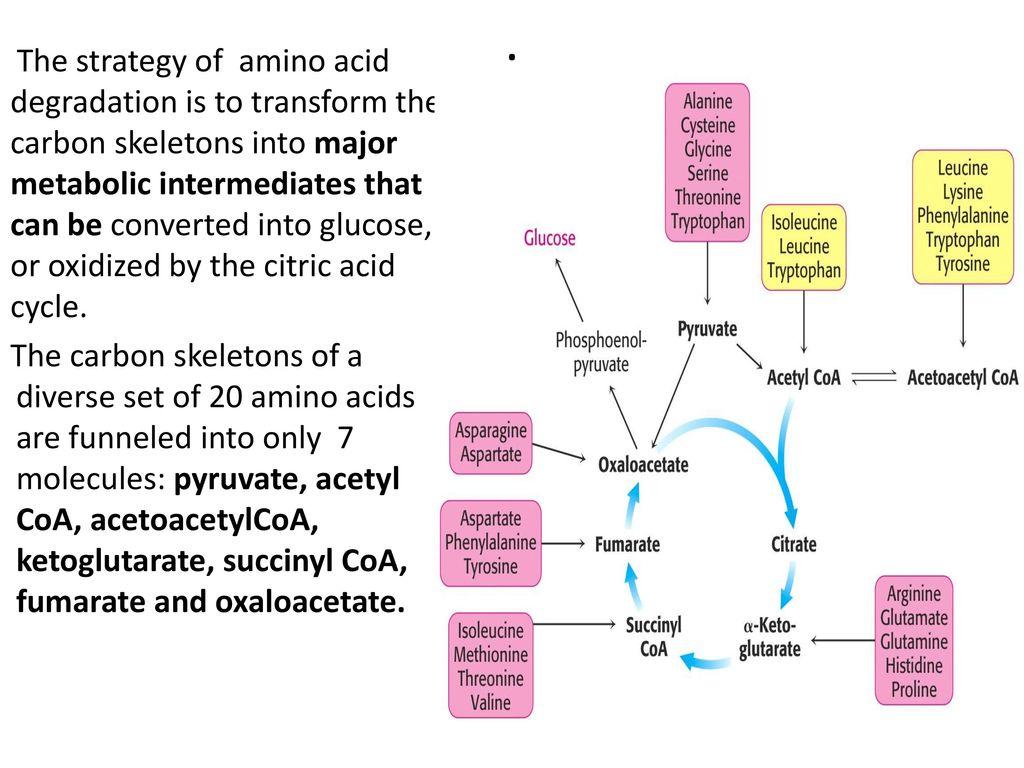 Amino Acid Catabolism: Carbon Skeletons - ppt download