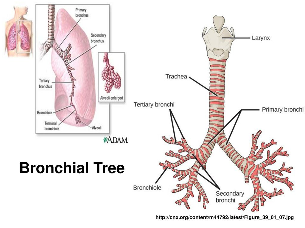 Contemporary Secondary Bronchi Pattern - Human Anatomy Images ...