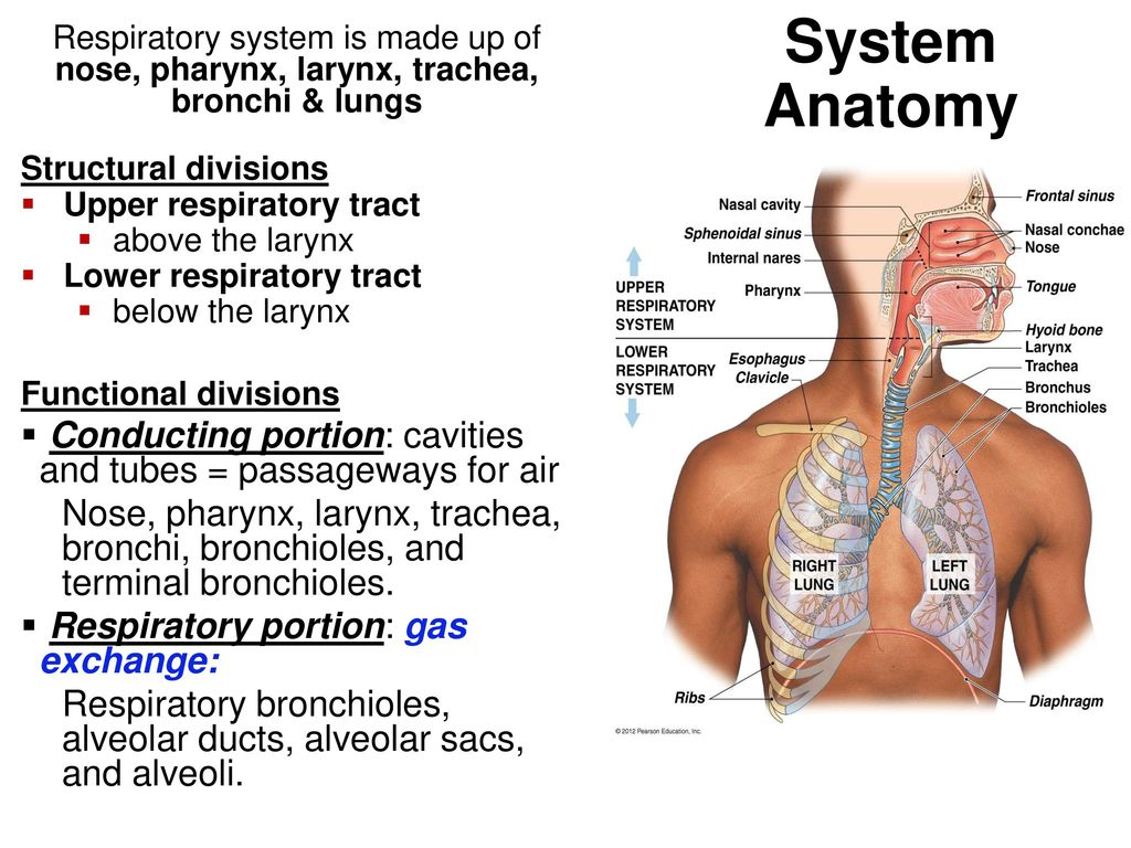 The Respiratory System - ppt download