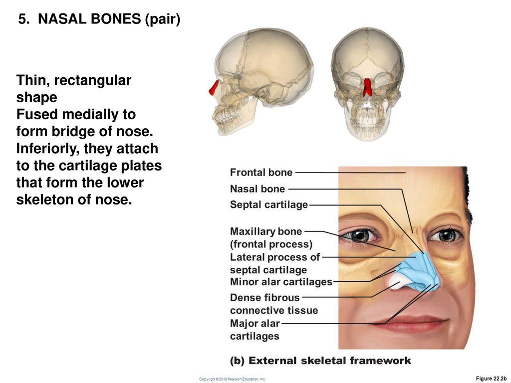 Perfect Nose Bones Images - Human Anatomy Images - fullthreadahead.com