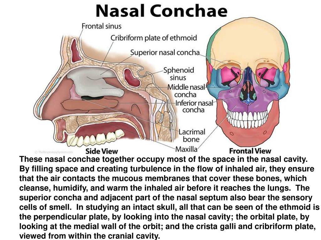 two bones that form the nasal septum - Mersn.proforum.co
