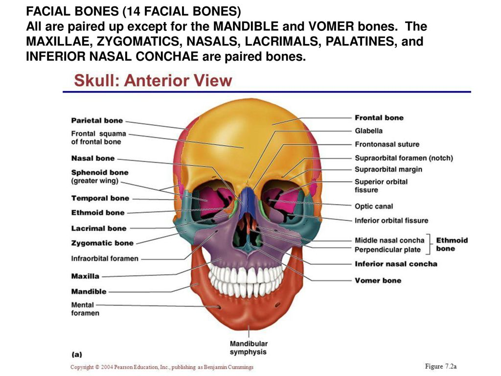Lacrimal Bone Anatomy Image Collections Human Body Anatomy